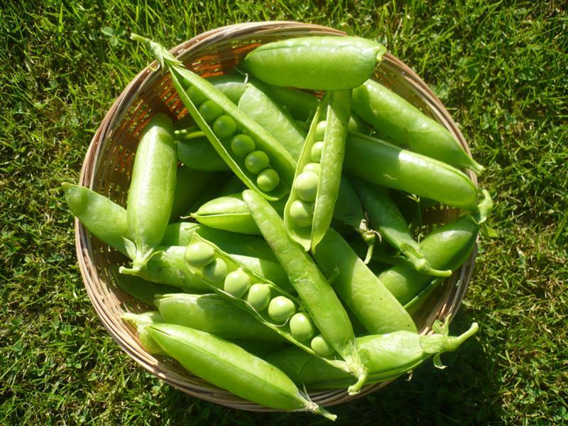 6a6b1b77070 Чем полезен горох в стручках  - Питание и продукты