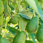 Авокадо: белок или углевод?