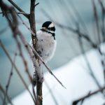 Почему нельзя кормить птиц пшеном?
