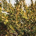 Чем отличаются маслины от оливок?