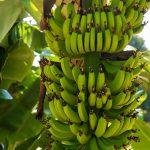 Правда ли что коронавирус передается через бананы?