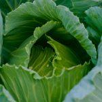 Почему трескаются кочаны капусты?
